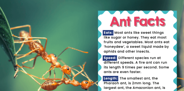 Preview image of Minibeasts KS1 Facts: Display Posters for Writing Inspiration
